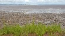 tide grass